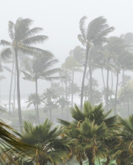 Palm trees swaying in a hurricane with heavy rain and high winds